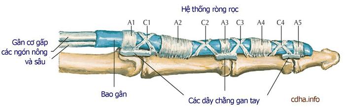Giải phẫu ngón tay hệ gân xương